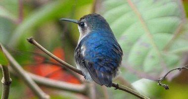 وزنه لا يزيد عن جرامين .. تعرف على الطائر الأصغر فى العالم وموطنه
