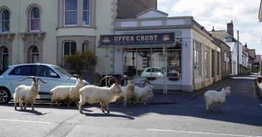 """الماعز الجبلي ينتقل لشوارع ويلز بعد اختفاء البشر بسبب """"عزل كورونا"""".. صور"""