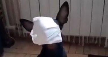 كلب يرتدى الكمامة بسهولة بالغة للوقاية من كورونا..فيديو