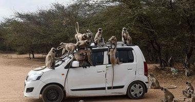 القرود تحتل شوارع الهند بسبب حظر التجوال فوق السيارات وفى الأسواق.. صور