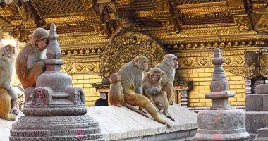 مصائب كورونا.. القردة فى نيبال تواجه شبح الجوع بسبب الإغلاق الكلى.. صور