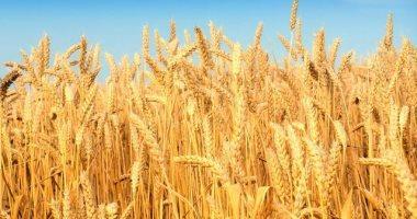 روسيا تؤكد قدرتها على المشاركة فى مناقصات القمح الجزائرية
