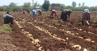 الزراعة تعلن ارتفاع صادرات البطاطس والبصل لـ 940 ألف طن