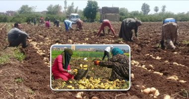 الزراعة تعلن وصول 45 ألف طن تقاوى بطاطس وفحص الشحنات