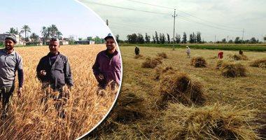 الزراعة: حصاد 3.1 مليون فدان قمح واستمرار توريد المحصول للتموين