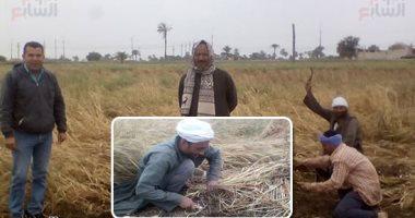 التموين: صرف 15 مليار من مستحقات المزارعين عن توريد القمح المحلى حتى الآن