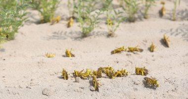 الفاو: الجراد الصحراوي يقضي على المحاصيل الزراعية في اليمن