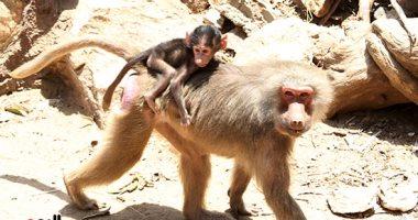 لماذا يتم اختيار القردة فى التجارب الطبيبة لكورونا؟