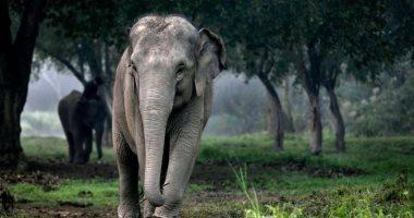 أناناس مفخخ يتسبب فى وفاة أنثى فيل بالهند.. اعرف التفاصيل