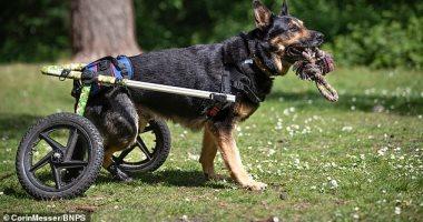 كرسى متحرك لكلب مصاب بمرض فى الحبل الشوكى ببريطانيا.. صور