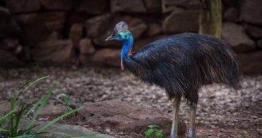 الديناصور الراقى.. حقائق لا تعرفها عن أخطر طائر في العالم.. صور