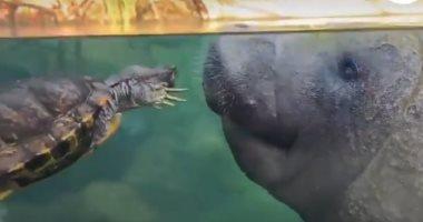 صداقات غريبة بين الحيوانات.. صداقة تجمع بين سلحفاة وخروف البحر