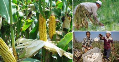 الزراعة: 4 لجان متابعة للقطن والذرة الشامية  والأرز.. اعرف التفاصيل