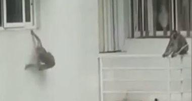 بدلا من السائحين.. القرود تحتل الفنادق فى بالى بعد تفشى كورونا.. فيديو وصور