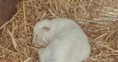صحيفة: ولادة أول أسد أبيض بإسبانيا فى أسوأ حديقة حيوانات