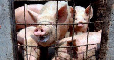 دراسة: طاعون الخنزير يصل إسبانيا ومخاوف العدوى تهدد الحيوانات والبشر