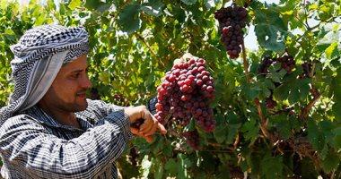 الزراعة تحدد حزمة توصيات لمزارع العنب لزيادة الإنتاج والصادرات.. تعرف عليها