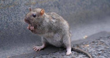فئران جائعة تهاجم رواد مطاعم نيويورك.. اعرف التفاصيل