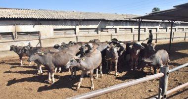 مزرعة الإنتاج الحيوانى أبرز مشروعات غرب غرب المنيا.. تضم 1200 رأس جاموس