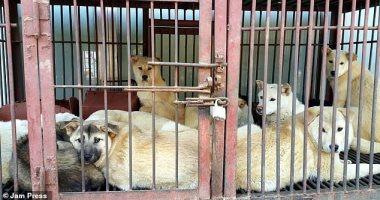 """موسم تناول """"الكلاب"""" ينطلق فى كوريا الجنوبية.. وجمعيات حقوق الحيوان تعترض"""