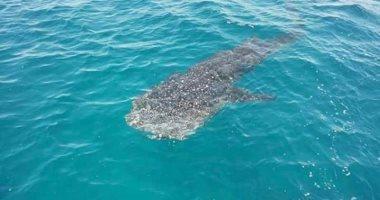 ظهور القرش الحوتى المسالم من جديد بشواطئ مدينة الغردقة.. صور