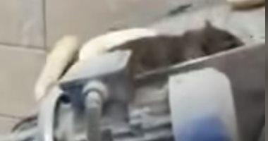 فأر يسير على الخبز بالأردن يثير موجة من الغضب على السوشيال ميديا.. فيديو