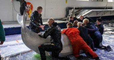 نقل حيتان إلى محمية بحرية في أيسلندا بعد قضاء 9 سنوات فى حوض صينى