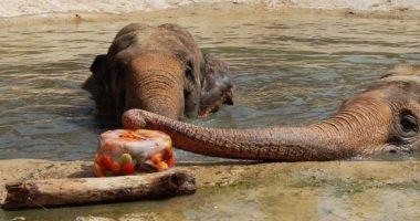 حيوانات إسبانيا تحارب الحر بالفواكهة والنمور تستمتع بالأيس كريم.. صور