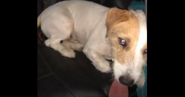 """بعد عرض مكافأة 15 ألف جنيه على السوشيال.. العثور على الكلب """"شيكو"""" التائه.. فيديو"""