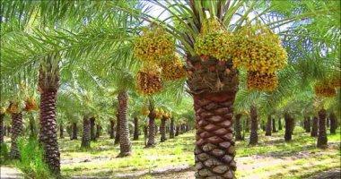 محافظة الوادى الجديد تعلن عن وحدات لحفظ التمور والخضروات بأسعار مخفضة للتجار