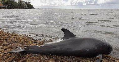 أنثى دولفين تحاول إنقاذ صغيرها من التسرب النفطى فى بحيرة موريشيوس.. فيديو وصور
