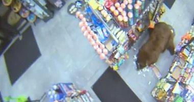 الدببة تقتحم محطة وقود وسوبر ماركت فى كاليفورنيا.. فيديو وصور