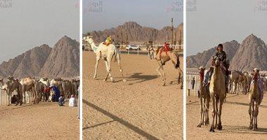 إطلاق موسم سباق الهجن الجديد بشرم الشيخ بالتزامن مع ذكرى انتصارات أكتوبر