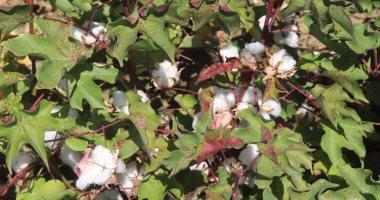 كل ما تريد معرفته عن زراعة القطن قصير التيلة شرق العوينات