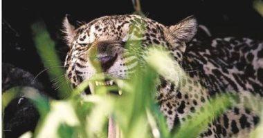"""حرائق البرازيل تهدد أكبر النمور بالانقراض فى أمريكا اللاتينية.. جامعة ريو دى جانيرو: تدمير 14 مليون هكتار بسبب الحرائق تؤثر على""""الجاكوار"""".. وعلماء الأحياء يؤكدون إنقرضه يسبب خللا بالنظم البيئية"""
