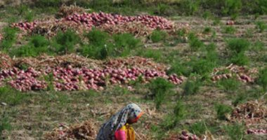 الزراعة تعلن تخطى صادرات البصل لـ345509 أطنان لجميع الأسواق العالمية