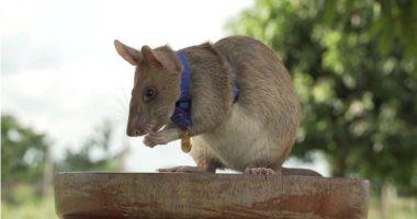 منح فأر ميدالية ذهبية لشجاعته فى اكتشاف 39 لغم أرضى بكمبوديا .. صور