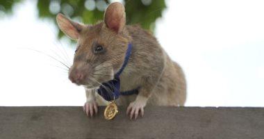 """فأر بس نينجا.. """"ماجاوا"""" يحصد ميدالية ذهبية لجهوده فى اكتشاف الألغام.. ألبوم صور"""
