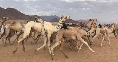 """انطلاق فعاليات مهرجان """"المقرح"""" للهجن بجنوب سيناء غدا"""