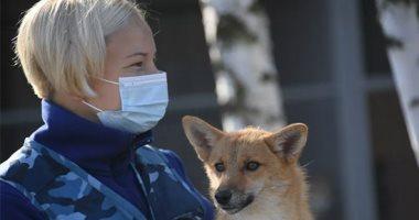 حيوانات فى مهمة طبية.. روسيا تستعين بالكلاب للكشف عن مصابى كورونا.. ألبوم صور