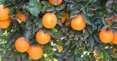 """نصائح """"الزراعة"""" لمزارعى البرتقال لزيادة إنتاج المحصول.. فيديو"""