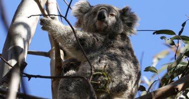 الحرائق والأمراض تهددان حيوان الكوالا بالإنقراض ومحاولات جادة لانقاذه.. ألبوم صور