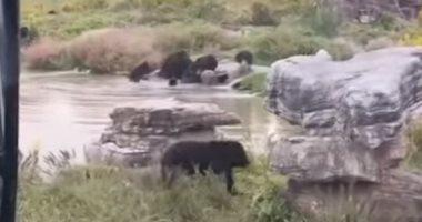 دببة برية تلتهم عاملا فى حديقة حيوان صينية والسياح يفزعون.. فيديو
