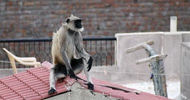 قرد يقتل فتاة أثناء جمعها الملابس فوق سطح منزل فى الهند.. اعرف التفاصيل