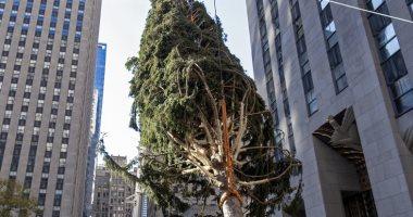شجرة عيد الميلاد العملاقة تزين نيويورك ..تزن 11طنا بطول 23متراً..ألبوم صور