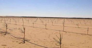 محافظ الوادى الجديد يعلن استكمال زراعة 145 ألف شجرة زيتون بالفرافرة