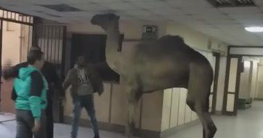 جمل يتجول بمستشفى أوسيم فى الجيزة.. والمحافظة: هرب من السلخانة (صور)