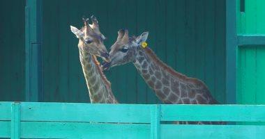 """رئيس حدائق الحيوان يكشف لـ""""اليوم السابع"""" أسباب وفاة الزراف """"زيزو"""""""