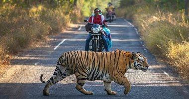 دقيقة تحبس الأنفاس .. نمر يعترض السائقين بأحد شوارع الهند .. صور