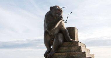 عصابة مستر قرد..مافيا القرود تفاوض الزوار على مسروقاتهم..ألبوم صور